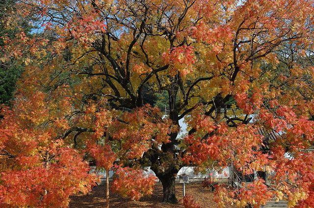 Shizutani_Scholl_Confucius_Tree80%.jpg